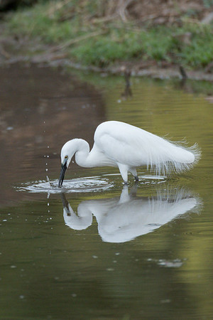 Great white egret, Ranthambore National Park (Zone 3)