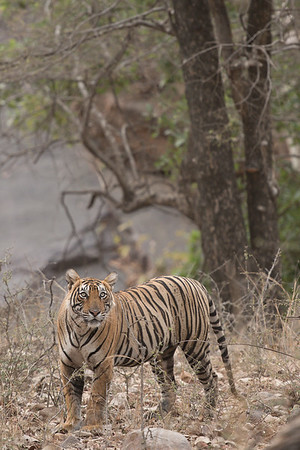 Sulthana, Ranthambore National Park (Zone 1)
