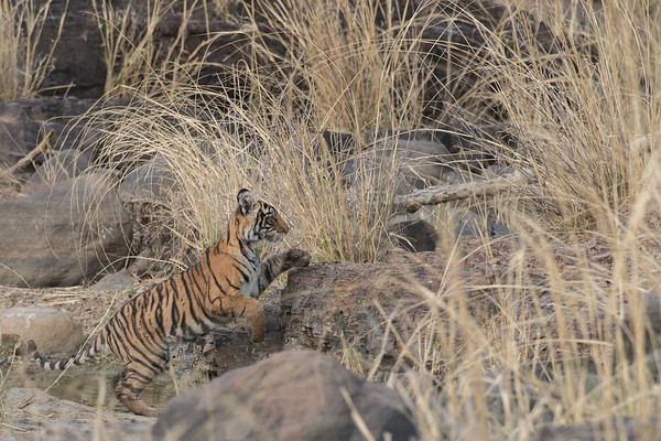 One of Arrowhead's six-month old cubs, Ranthambore National Park (Zone 3)