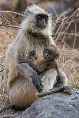 Gray langur monkey with three-week old baby, Ranthambore National Park