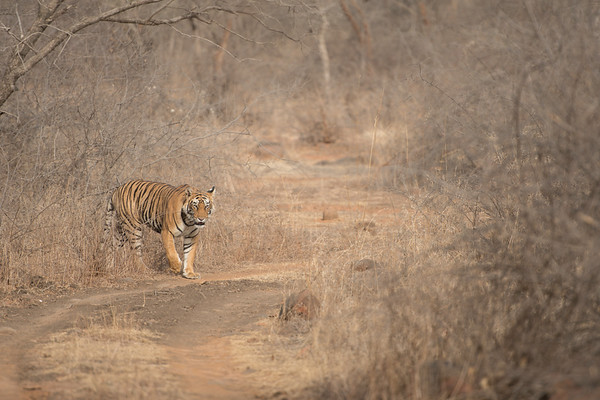 "Female cub of T-19 (""Krishna""), Ranthambore National Park (Zone 4).  At this time of year temperatures reach up to 40°C, and much of the vegetation has died.  But it is a good time for tiger sightings as they are more likely to visit waterholes visible from the roads."