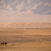Palmyra, Syria - January, 2008: Camels crossing the dry desert landscape near the ancient caravan oasis of Palmyra. (Photo by Christopher Herwig)