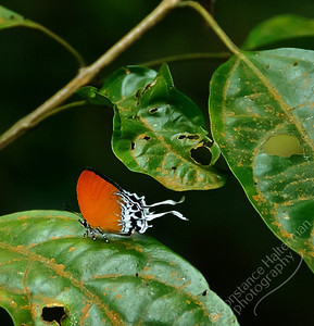 MacRitchie Reservoir - orange butterfly