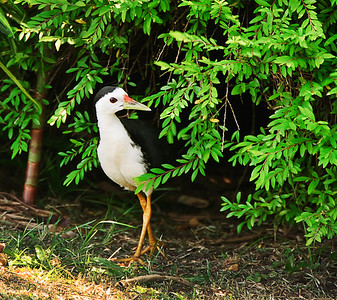 Chinese-Japanese Gardens - White-breasted Waterhen