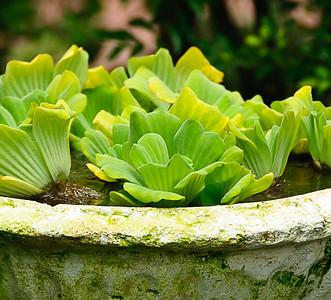 Singapore Botanic Gardens, Orchid Garden - cabbage bath
