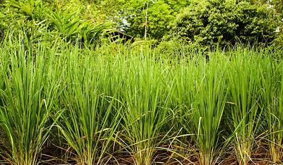 Singapore Botanic Gardens - Lemongrass