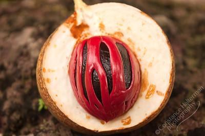 Singapore Botanic Gardens - Nutmeg