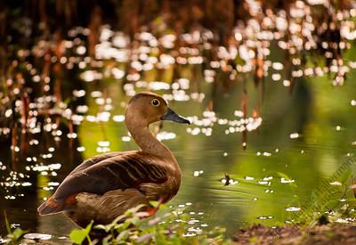 Singapore Botanic Gardens - Lesser Whistling Duck