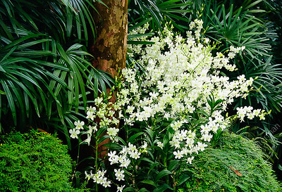 Singapore Botanic Gardens, Orchid Garden - orchids