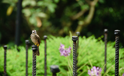 Singapore Botanic Gardens, Orchid Garden - Yellow Vented Bulbul