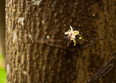 Singapore Botanic Gardens - Cacao flower