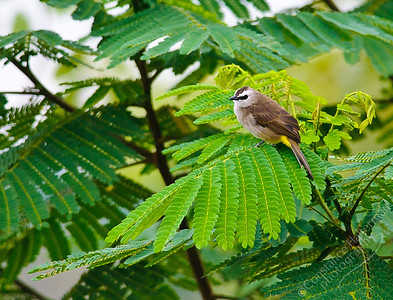 Woodlands - Yellow-vented Bulbul