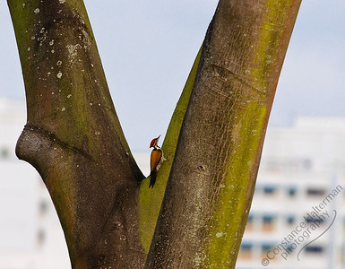 Woodlands - Common Flameback Woodpecker