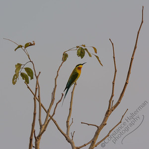Woodlands - Blue-tailed Bee-eater