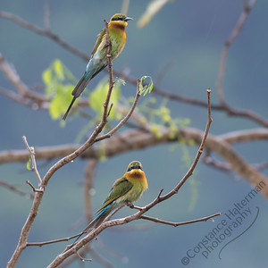 Woodlands - Blue-tailed Bee-eaters