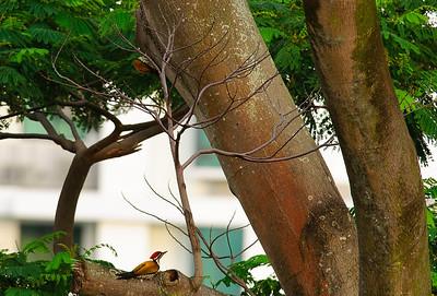 Woodlands - Common Flameback Woodpeckers
