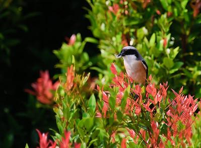 Woodlands - Long-tailed Shrike