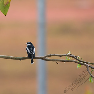 Woodlands - Pied Triller