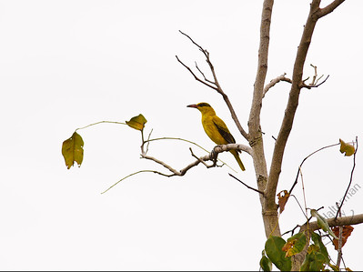Woodlands - Black-naped Oriole