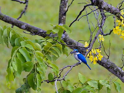 Woodlands - Collared Kingfisher