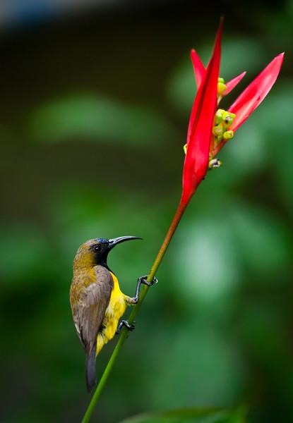 Olive-backed Sunbird ( Cinnyris jugularis )