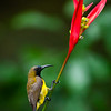 Olive-backed Sunbird ( Cinnyris jugularis )
