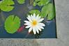 Water Lily (genus Nymphaea) at Kamandalu Resort