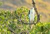 White-bellied Sea Eagle (Haliaeetus leucogaster), also known as the White-breasted Sea Eagle,