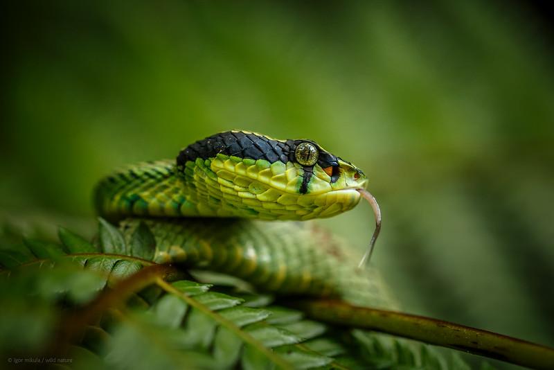 Green Pit Viper (Pala Polanga)