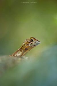 Sri Lankan Kangaroo Lizard (Otocryptis wiegmanni)