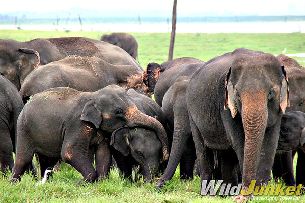 Elephant gathering in Kaudulla