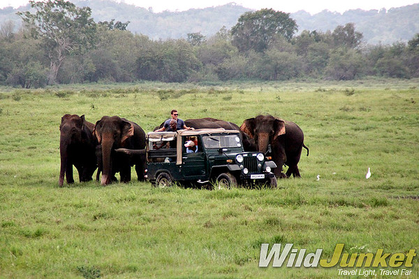 wild elephants in kaudulla