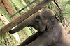 Indian Elephant, Pinnewala Elephant Orphanage, Kegalle, The Hill Country, Sri Lanka.