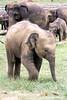 Indian Elephants, Pinnewala Elephant Orphanage, Kegalle, The Hill Country, Sri Lanka.