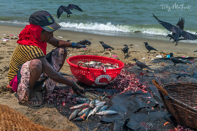 Negombo Beach Fish Gutting
