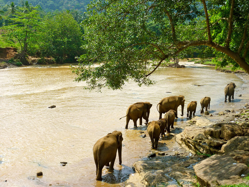 A group of elephants cooling down by the river at the Pinnewala Elephant Orphanage.