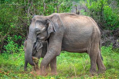 Udawalawe Wild Elephants