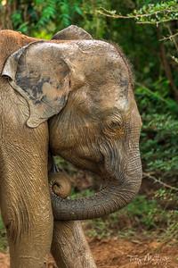 Udawalawe Elephant
