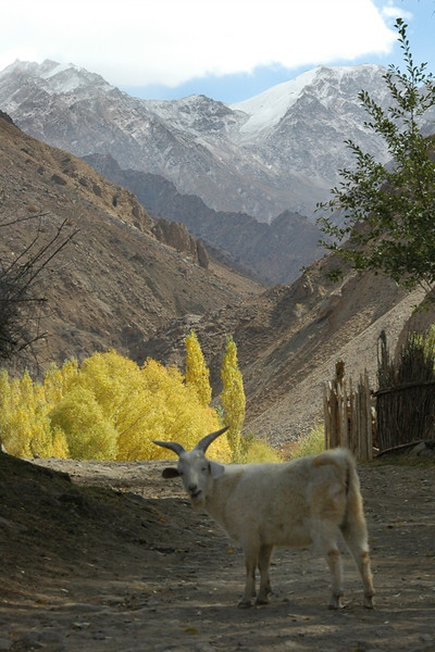Lost Goat - Pamir Mountains, Tajikistan