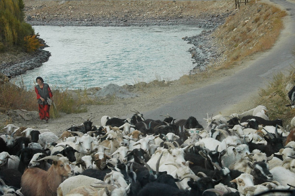 Pamiri Woman Herding Goats - Garm Chashma, Tajikistan