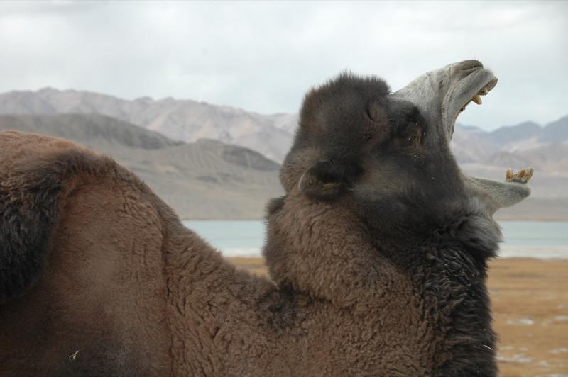Yawning Bacrtrian Camel - Pamir Mountains, Tajikistan