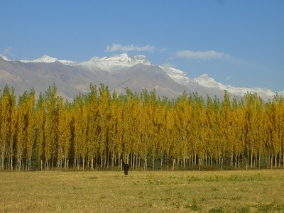 Autumn Poplars and Mountains - Pamir, Tajikistan