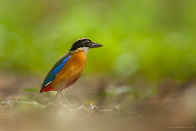 Blue-winged Pitta (Pitta moluccensis)