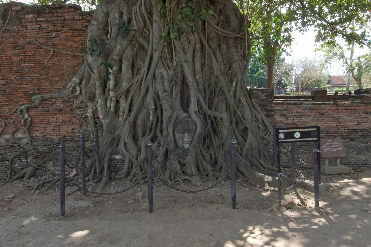 Isolated shot of a tree with carved Buddha face - Ayutthaya, Thailand