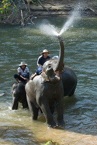 Elephant spurting water in its trunk - Chiang Mai, Thailand