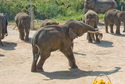 Elephant playing with soccer ball - Chiang Mai, Thailand