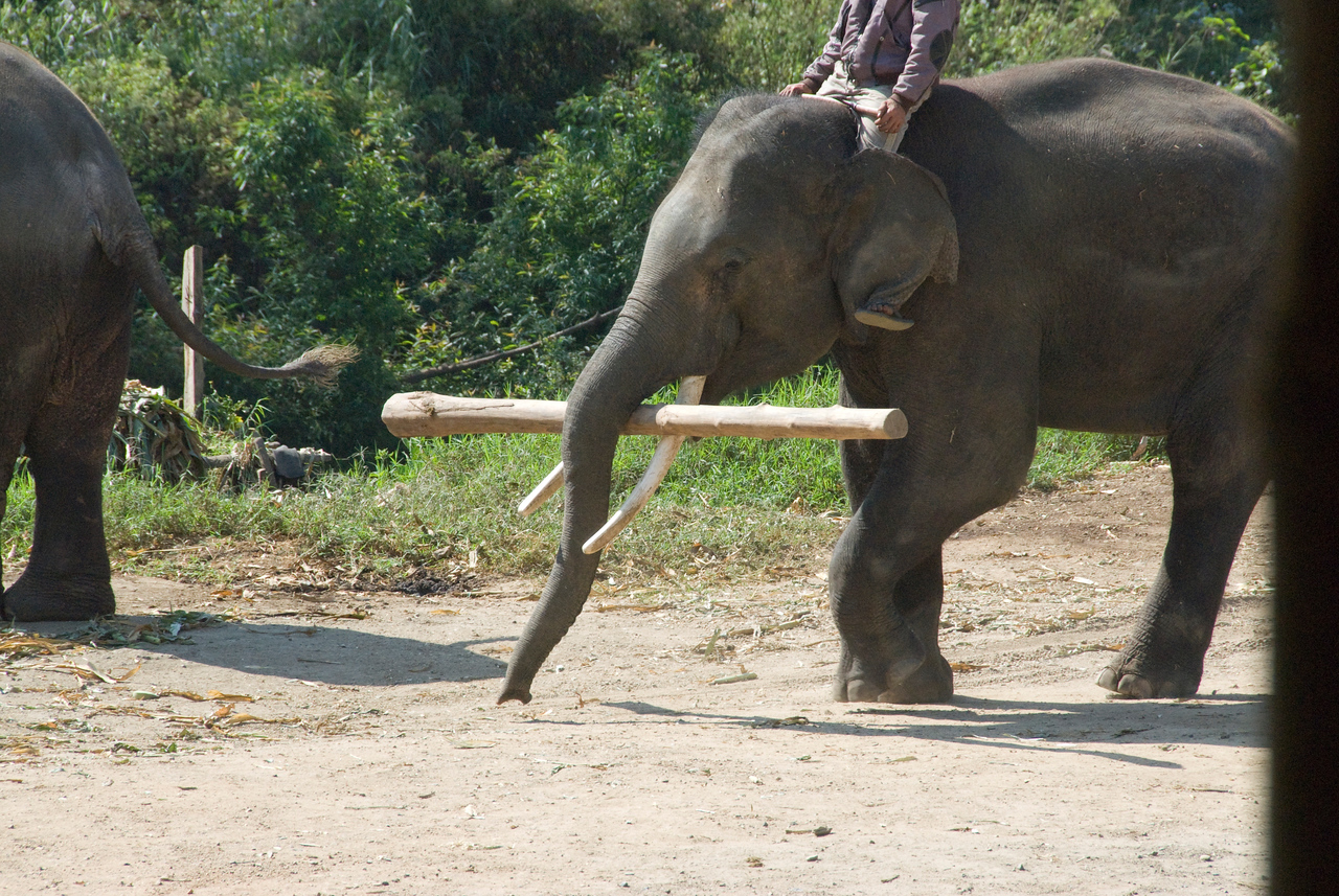Elephant carrying log with its trunk - Chiang Mai, Thailand