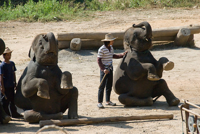 Elephant sitting next to trainer in Chiang Mai, Thailand