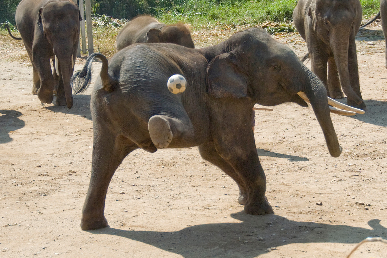 Elephant kicking soccer ball with rear leg - Chiang Mai, Thailand
