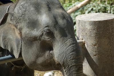 Close-up shot of an elephant at Chiang Mai, Thailand